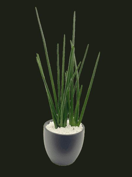 סנסיווריה ירוקה